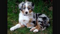 WANTED: Australian Shepherd Puppy
