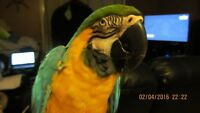 Young Macaw with Cage.
