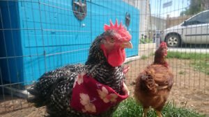 Young Hen and Rooster