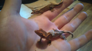 baby crested geckos !