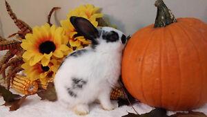 Cute mini lop mix female bunny Kitchener / Waterloo Kitchener Area image 4
