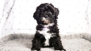Shihtzu Poodle Puppies