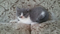 British Shorthair Bi-Colour Pure Breed Girl for Sale