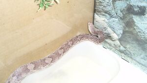 Pine snake adulte male