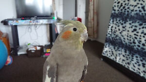 Young friendly cockatiel for sale