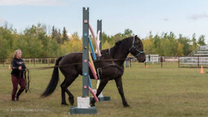 Coaching-Ground Driving-Double lunging-Halter-Showmanship