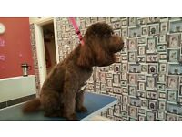 Cockapoo Stud Dog- Proven- (for use only not for sale)