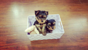 Adorable Tiny Purebred Yorkshire Terrier puppies (Yorkie)