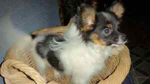 Toy papillon puppies for sale