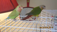 Conure and lovebird