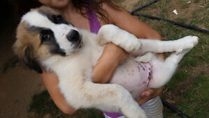 Gorgeous Great Pyrenees with Border Collie