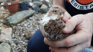 Japanese quail Higgins Belconnen Area Preview