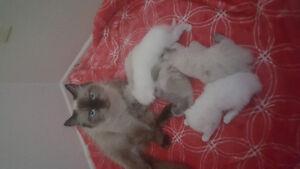 3 Male himalayan kittens 1 female all white pursan