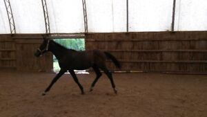 very fancy grey hanno/oldenburg yearling filly