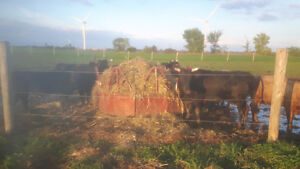 Dexter Cows-Pure Bred and Cross-Updated Pics London Ontario image 2