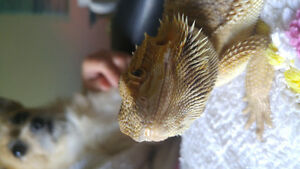 Bearded dragon . with everything . obo
