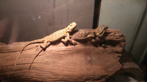 Bearded dragons (lizards)