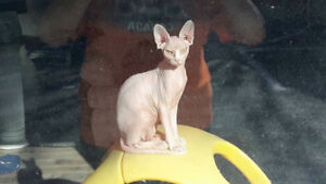 Sphinx cat for sale