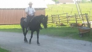 2 GREAT MARES FOR SALE BROKE TO RIDE AND DRIVE!!!