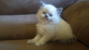 ***Stunning Himalayan Kittens*** ONLY 3 available; litter of 8