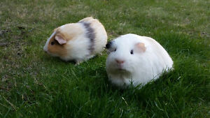Guinea pigs for free