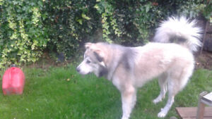 10 month old Caucasian shepard/ great pyranees puppy!