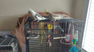 4 Cockatiels and cage