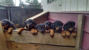 100%rotweiler puppies for sale