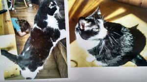 Lost black and white female cat, Kingscourt