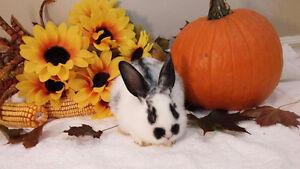 Cute mini lop mix female bunny Kitchener / Waterloo Kitchener Area image 2