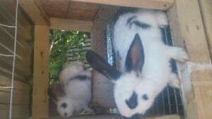 14 two months old rabbits for sale