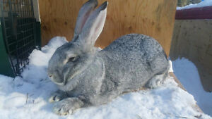 Purebred flemish giants colors light grey, and sandy -pedigrees