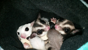 Sugar Glider Trio with Set Up