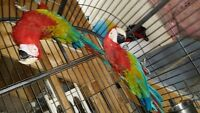 Proven pair of GREEN WING MACAWS