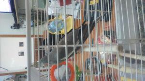 Je vend cockatiel avec cage