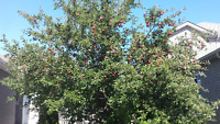 Surplus or unwanted apples this fall