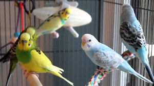WANTED BUDGIES