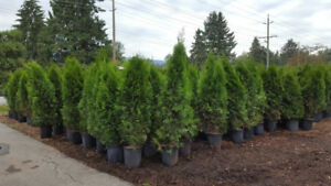 Emerald Cedar Tree Hedges 4-5 ft in pots