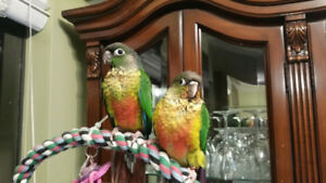 Yellowsided Conures