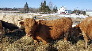 Two Charolais/Limo/Blonde Bulls for sale
