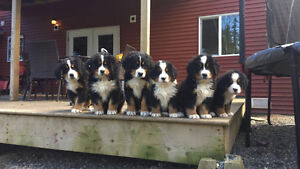 Family raised Bernese Mountain Dog Puppies-ready to go home!