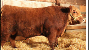 Red Angus Bulls for sale!!