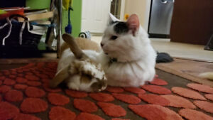 TAME BUNNY WITH CAGE for free