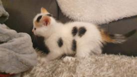 Little kitten looking for new home (girl)