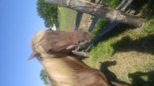 Beautiful Rocky Mountain Mare for sale