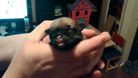 Purebred Pugs little girls and boys fawn colors
