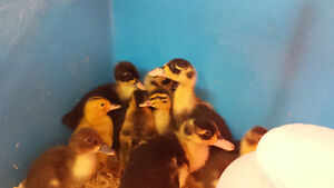 Ducklings and Goslings FOR SALE! Kakabeka Depot 628-0652