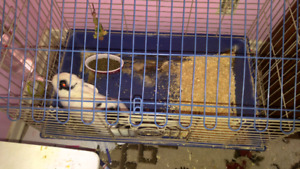 Friendly un neutered male rabbit looking for a new home.