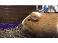 Guinea Pig with Lots of Food, Indoor & Outdoor Hutch