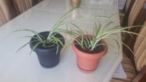 spider plant / plante araignée